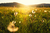 Wild grasses with dandelions in the mountains at sunset.