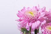 Bright pink chrisantemum flower on white background