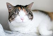 A sleepy calico tabby shorthair cat with its eyes closed