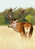 Red deer stag with a jackdaw sitting on a back
