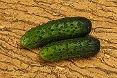 Ripe fresh green two cucumbers