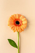 Orange gerbera flower on the yellow background. Flat lay, top view