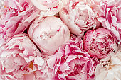 Bouquet of a lot of peonies of pink color close up. Flat lay, top view. Peony flower texture