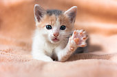 Close-up portrait of funny, cute, beautiful tree-colored ginger kitten.Adorable little pet with a raised paw.Home cat, kid animals veterinary concept. Greeting card.