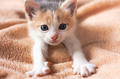 Close-up portrait of funny, cute, beautiful tree-colored ginger kitten.Adorable little pet lies on sofa and stretches Home cat, kid animals veterinary concept. Greeting card.