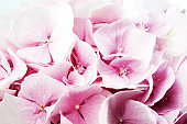 Soft pink Hydrangea (Hydrangea macrophylla) or Hortensia flower.