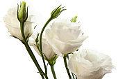 bright white eustoma flowers isolated on white background