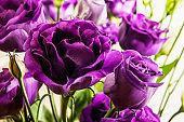 bright purple eustoma flower isolated on white background.