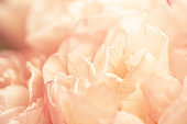 Pink tulips petals close up