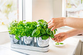 Close up woman's hand picking leaves of basil greenery. Home gardening on kitchen. Pots of herbs with basil, parsley and thyme. Home planting and food growing. Sustainable lifestyle, plant-based food