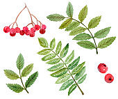 watercolor rowan berries and branches with green leaves isolated on white background