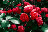 vibrant red roses in a garden, dark toned