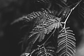 leaves with few drops toned in monochrome black