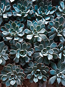 green potted succulents close up ,natural floral texture for a background
