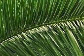 palm leaf texture for a background, blurred natural background