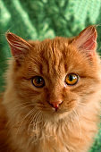 cute fluffy red cat on a green background