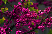 low key close up blooming pik  flowers of a fruit tree in a garden on a dark blurred background