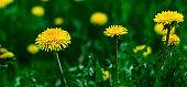 yellow dandelion flowers in the field banner