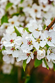 white apple flowers in a spring garden