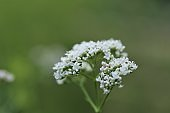 Valerian plant. Flowers of Valeriana Officinalis close-up on a blurry green background.Medicinal plants. Healing herbs and flowers.Alternative nature. Homeopathy remedy