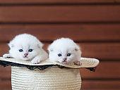 Kittens in a hat