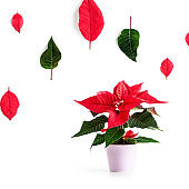 Red poinsettia christmas flower as creative layout