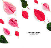 Poinsettia christmas flower petals and leaves