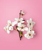 Cherry blossom, white sakura spring flowers