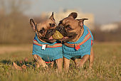 Pair of French Bulldog dogs wearing matching blue sweaters running towards camera while holding ball toy together in mouth