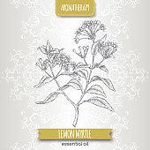 Lemon myrtle aka Backhousia citriodora sketch on elegant lace background.