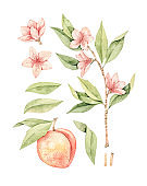 Watercolor botanical illustration. Botany. Peach fruit, pink flowers and leaves. Floral blossom elements. Perfect for wedding invitations, cards, prints, posters, packing.