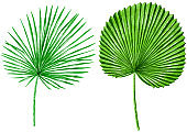Palm leaves watercolor illustration, isolated on white