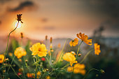 Beautiful Blossom Cosmos Flowers in Garden Field, Close Up of Yellow Cosmos Blooming Flower Against Scenery Sunset Background. Nature Plant Backgrounds