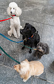 Dogs on leashes on the sidewalk, New York City