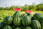 Harvesting ripe watermelons on the field