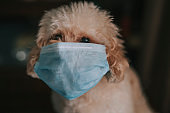 toy poodle indoor portrait with surgical mask covering mouth