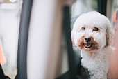 a toy poodle puppy looking from inside the car waiting for his owner for a road trip feeling excited