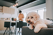 a toy poddle sitting at sofa in living room looking at camera while his owner preparing food in the kitchen