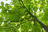 Tulip tree trunk with dense foliage and branches.