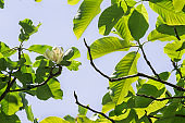 Tulip tree flower, foliage and branches against the blue sky.