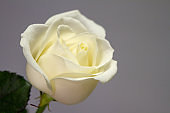 Extremely close up frame of a white rose on a gray background, greeting card or concept
