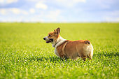 view from side to side a cute red haired Corgi dog puppy stands on a green meadow with juicy grass on a Sunny spring day