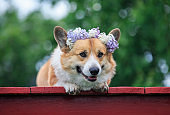 portrait of a cute red dog Corgi puppy with big ears in a wreath of lilac flowers lying in a spring Sunny garden and smiling