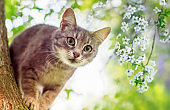 cute a striped kitten climbs among cherry branches blooming with white buds in a Sunny may garden