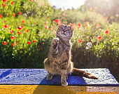 cute striped cat sitting on a sitting on a bench in a Sunny summer garden and playing with his paws
