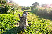 portrait of a cute striped cat sitting on green grass in a Sunny spring garden and playing with a paw