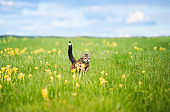 beautiful striped cat runs quickly through the spring blooming to the meadow raising its tail and paws