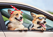 two happy beautiful Corgi dog puppies are driving in the car, quite sticking their paws