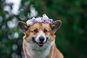 portrait of a cute red dog Corgi puppy in a wreath of lilac flowers in a spring Sunny garden