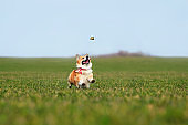 red Corgi dog puppy runs fast on the green grass in the meadow and catches a swallowtail butterfly in its mouth